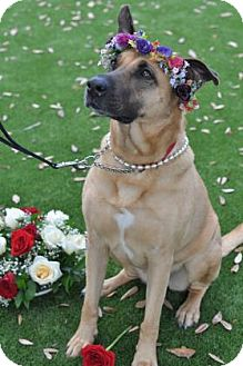 German Shepherd Dog Mix Dog for adoption in Cocoa, Florida - Gypsy (Cocoa Center)