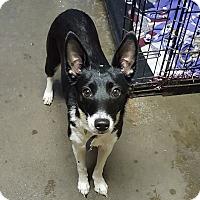 Terrier (Unknown Type, Medium) Mix Dog for adoption in Pottsville, Pennsylvania - Harper