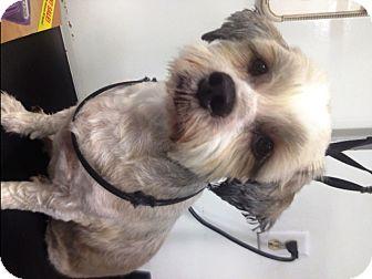 Shih Tzu/Poodle (Miniature) Mix Dog for adoption in Santa Fe, Texas - Miss Karina