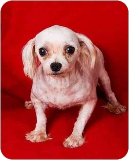 Maltese Dog for adoption in Anna, Illinois - O'MELIA