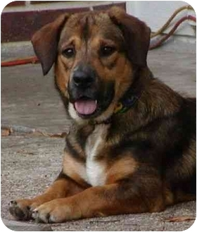 Basset Hound/Shepherd (Unknown Type) Mix Dog for adoption in Humble, Texas - Miss Emily