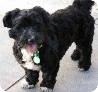Poodle (Miniature)/Terrier (Unknown Type, Small) Mix Dog for adoption in Los Angeles, California - Shadow