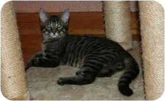 Domestic Shorthair Kitten for adoption in Montreal, Quebec - Rod