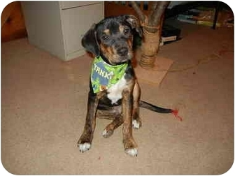 Beagle/Feist Mix Puppy for adoption in Bedminster, New Jersey - Luther