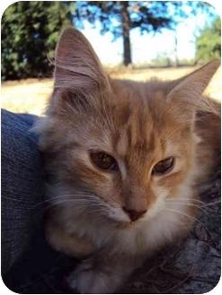 Domestic Mediumhair Cat for adoption in Daisy, Georgia - Ruben
