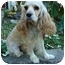Photo 1 - Cocker Spaniel Dog for adoption in Sugarland, Texas - Penny