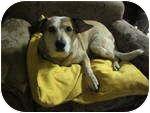 Australian Cattle Dog Dog for adoption in Phoenix, Arizona - Sarah (adoption pending)