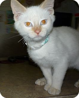 Domestic Shorthair Kitten for adoption in Jackson, Michigan - Hollywood