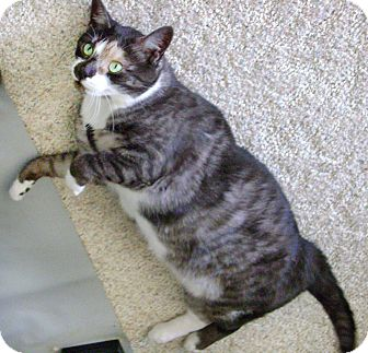 Domestic Shorthair Cat for adoption in Howell, Michigan - Holly