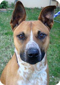 Australian Cattle Dog/Shepherd (Unknown Type) Mix Dog for adoption in Red Bluff, California - Brice-URGENT
