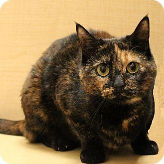 Domestic Shorthair Cat for adoption in Columbia, Illinois - Felicia