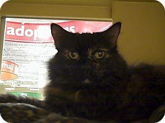 Domestic Longhair Cat for adoption in Houston, Texas - Sasha