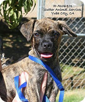 Boxer Mix Puppy for adoption in Yuba City, California - 08/26 Unnamed