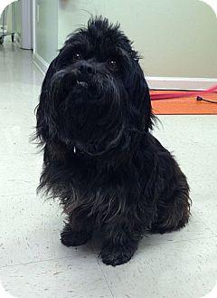 Lhasa Apso/Schnauzer (Standard) Mix Dog for adoption in Allentown, Pennsylvania - Mooch