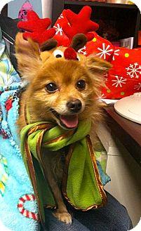 Pomeranian Mix Dog for adoption in Media, Pennsylvania - GADDA