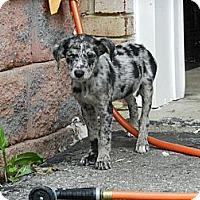 Adopt A Pet :: Paula - South Jersey, NJ