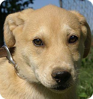 Terrier (Unknown Type, Medium)/Labrador Retriever Mix Puppy for adoption in Allentown, Pennsylvania - Cullen