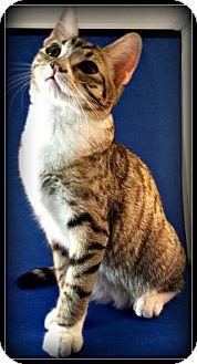 Domestic Shorthair Kitten for adoption in Bedford, Virginia - Petunia