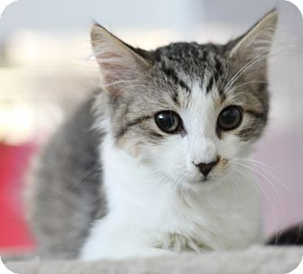 Maine Coon Kitten for adoption in Covington, Louisiana - Kobe
