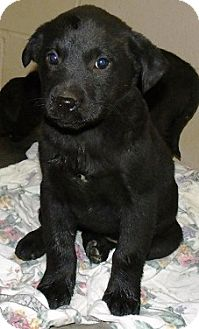 Newfoundland/Labrador Retriever Mix Puppy for adoption in Oswego, Illinois - I'M ADOPTED Rosie Patalano