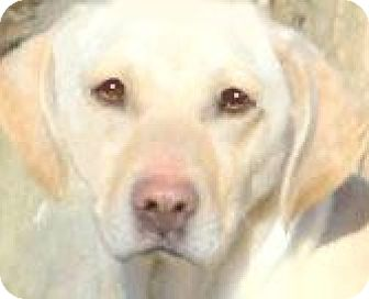 Labrador Retriever Mix Dog for adoption in Wakefield, Rhode Island - LILLY(LEFT BEHIND! PLS READ!