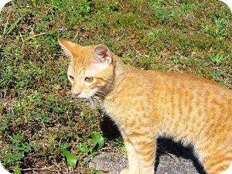 Domestic Shorthair Kitten for adoption in Port St. Joe, Florida - Tiger