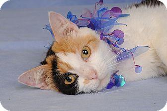 Calico Cat for adoption in mishawaka, Indiana - Candy