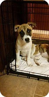 Boxer/Dutch Shepherd Mix Puppy for adoption in Von Ormy, Texas - SOPHIE