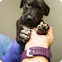 Adopt A Pet :: York (Candy Pup) - Cumming, GA