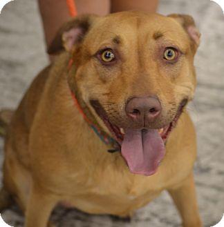 Labrador Retriever/Pit Bull Terrier Mix Dog for adoption in Albemarle, North Carolina - Gypsy