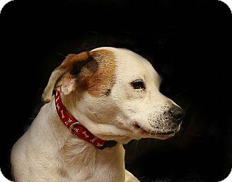 Beagle/American Bulldog Mix Dog for adoption in Newtown, Connecticut - Halo