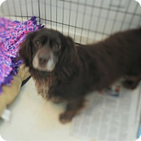Adopt A Pet :: Brownie - Howell, MI