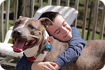 American Staffordshire Terrier Mix Dog for adoption in Media, Pennsylvania - Bogey