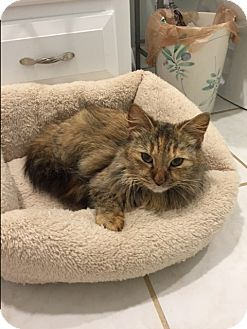 Maine Coon Cat for adoption in Denver, North Carolina - Kay