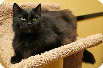 Domestic Mediumhair Cat for adoption in Bellevue, Washington - Blackjack