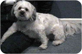 Lhasa Apso Mix Dog for adoption in Encino, California - MUFFIN/Pending