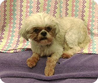 Shih Tzu Mix Dog for adoption in University Park, Illinois - Cammie