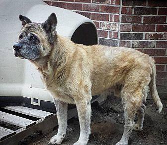 Akita Dog for adoption in Virginia Beach, Virginia - Brando