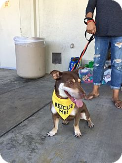 Corgi/Doberman Pinscher Mix Dog for adoption in Los Angeles, California - Dobie Foster