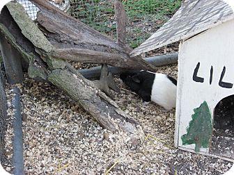 Guinea Pig for adoption in Christmas, Florida - Guinea Pigs (2F)