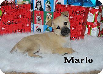 Labrador Retriever/Shepherd (Unknown Type) Mix Puppy for adoption in Colmar, Pennsylvania - Marlo