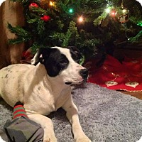 Adopt A Pet :: Dot in CT - Manchester, CT