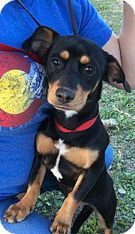 Dachshund/Rottweiler Mix Puppy for adoption in Santa Ana, California - Wendy (JD)