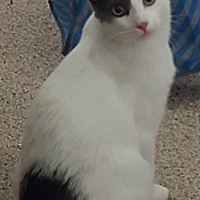 Domestic Shorthair Cat for adoption in Pasadena, California - Sweety-Petey