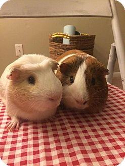 Guinea Pig for adoption in Grand Rapids, Michigan - Olaf & Blaze