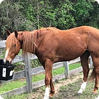 Adopt A Pet :: Gabe (Horse) - Freeport, FL
