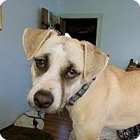Adopt A Pet :: Satchel - Raleigh, NC