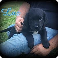 Adopt A Pet :: Laz - Denver, NC