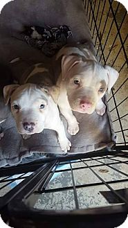 American Pit Bull Terrier Mix Puppy for adoption in Acworth, Georgia - Persephone - Classic Litter-at
