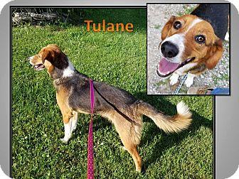Beagle/Australian Shepherd Mix Dog for adoption in LaGrange, Kentucky - TULANE